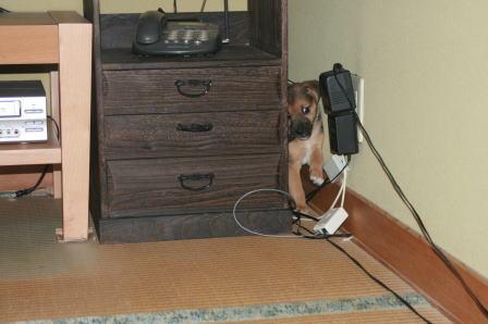 居間で遊ぶワンコたち(4)