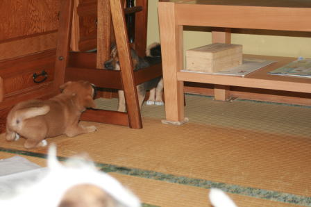 居間で遊ぶワンコたち(6)