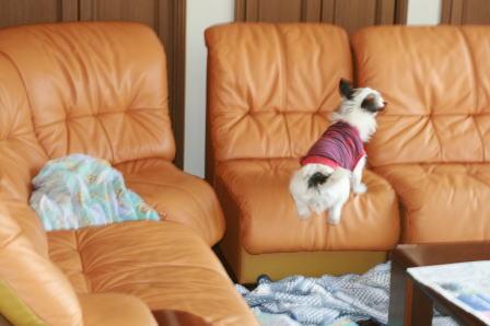 ソファーの上を走り回るもも(2)