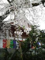 無量寺のさくら2