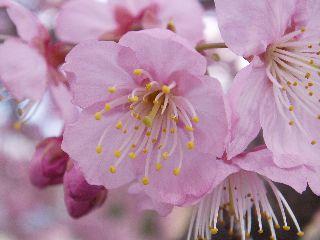 寒椿桜12