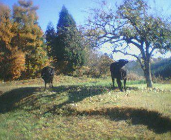 3匹の牛(爆マテ