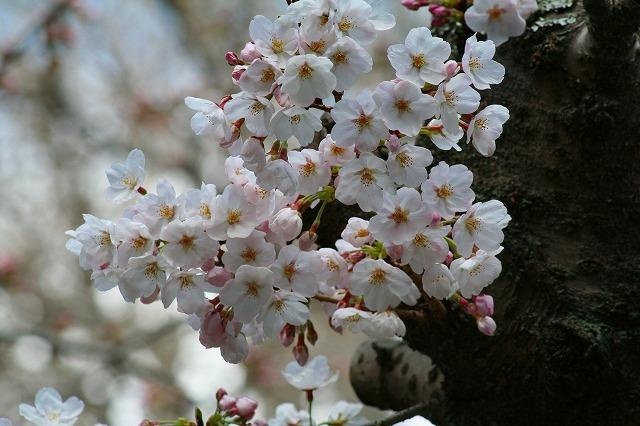 高徳院の桜1