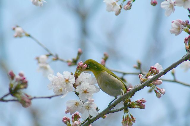 高徳院の桜とメジロ