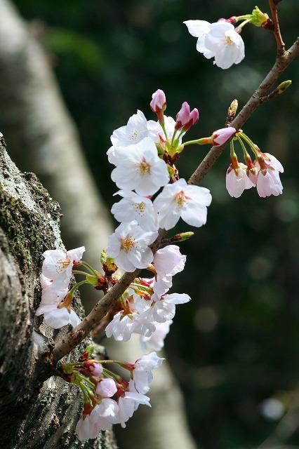 高徳院の桜3