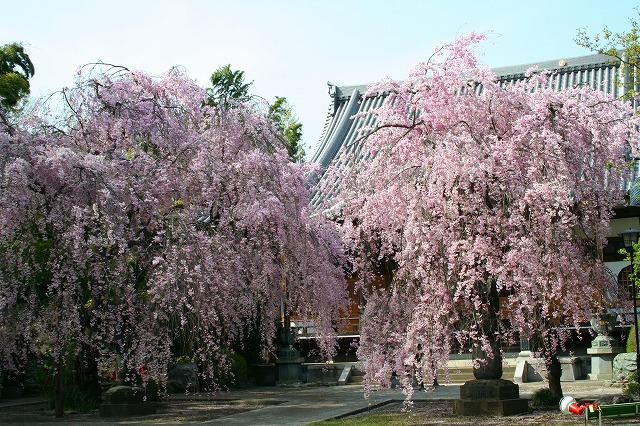 観音寺の枝垂れ桜1