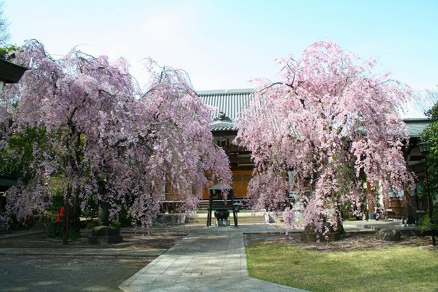 観音寺の枝垂れ桜2