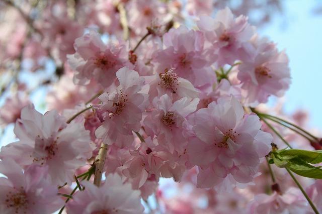 観音寺の枝垂れ桜3