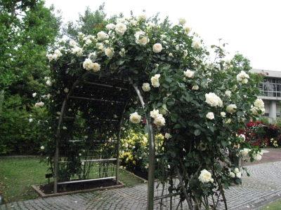 金沢姉妹都市公園のバラ