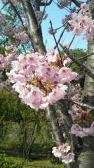 2009年の桜