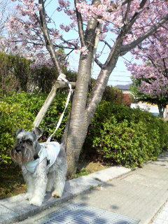 ムックと桜