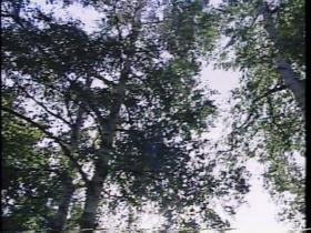 中島公園の白樺並木