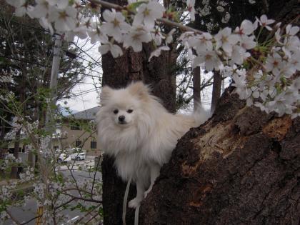 桜登り利温