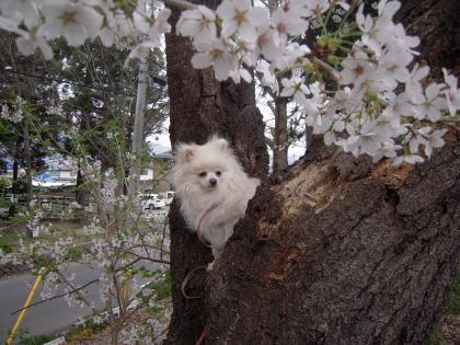 桜登り瑠妃