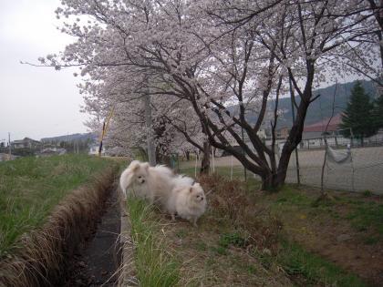 ドーンと桜