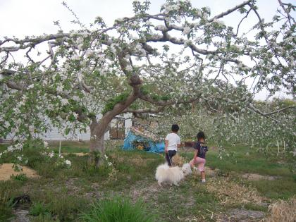 林檎の木の下