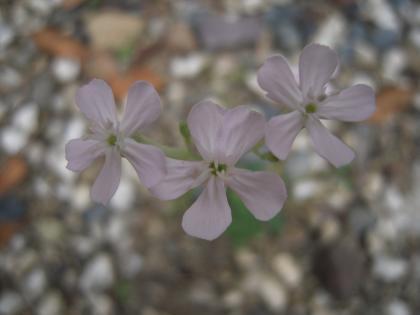 白薄桃色の花