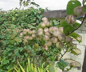 たわわになった山の果物