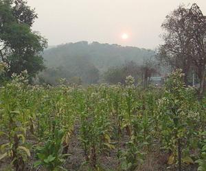 タバコの畑
