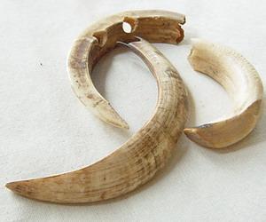 イノシシの牙