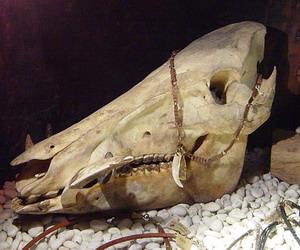 イノシシの頭蓋骨