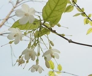 チョウチョの花