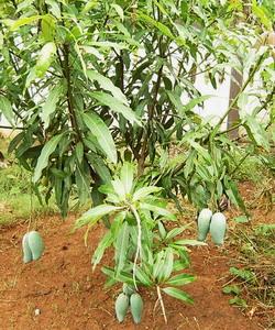 マンゴー収穫の日1