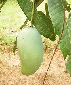 マンゴー収穫の日2