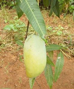 マンゴー収穫の日3