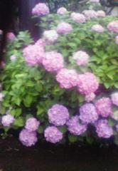 雨の恵みの紫陽花.私にも