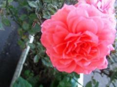 12月のバラ