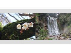 霧島・丸尾の滝と梅
