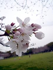 子連れで花見に行くなら八景水谷公園!