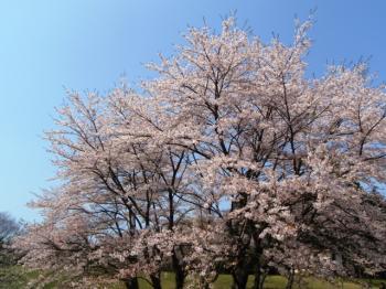 素晴らしい桜です♪