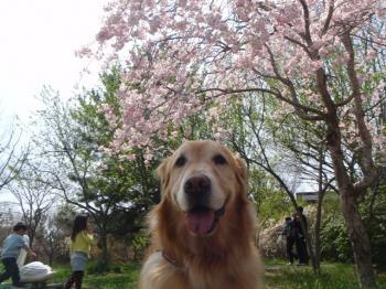 しだれ桜もあるよ♪