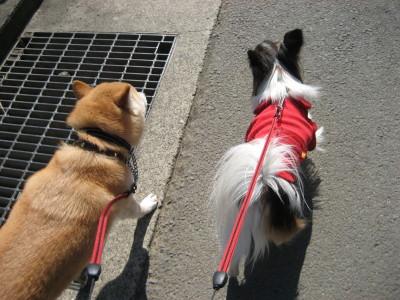 二匹散歩後姿
