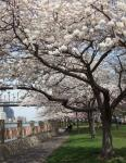 roosevelt-island-sakura.jpg