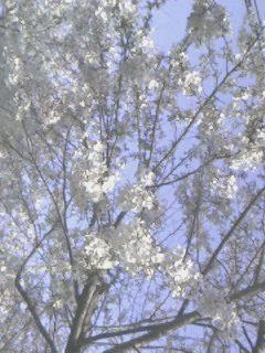 桜(png)