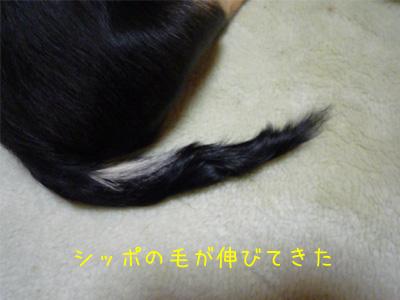 シッポの毛が伸びてきた