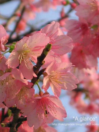 緋寒桜(ヒカンザクラ) 1-2