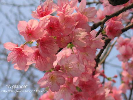 緋寒桜(ヒカンザクラ) 1
