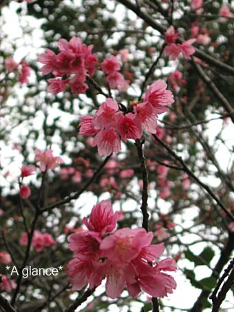 緋寒桜(ヒカンザクラ) 3
