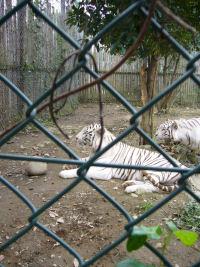 ホワイトタイガー1