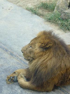 ライオンにくきう