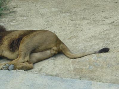 ライオンにくきう2