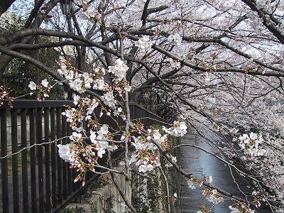石神川の桜