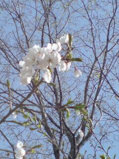 20090421 桜8分咲き