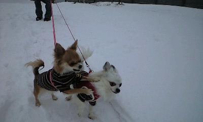 クぅー 雪の散歩