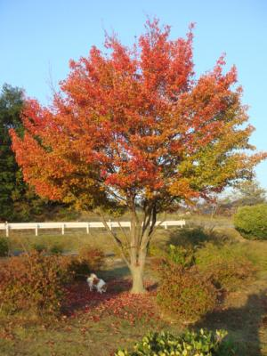 2008.11.14 紅葉