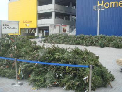 2008.11.21  IKEA 生もみの木